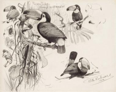 Giant Toucan